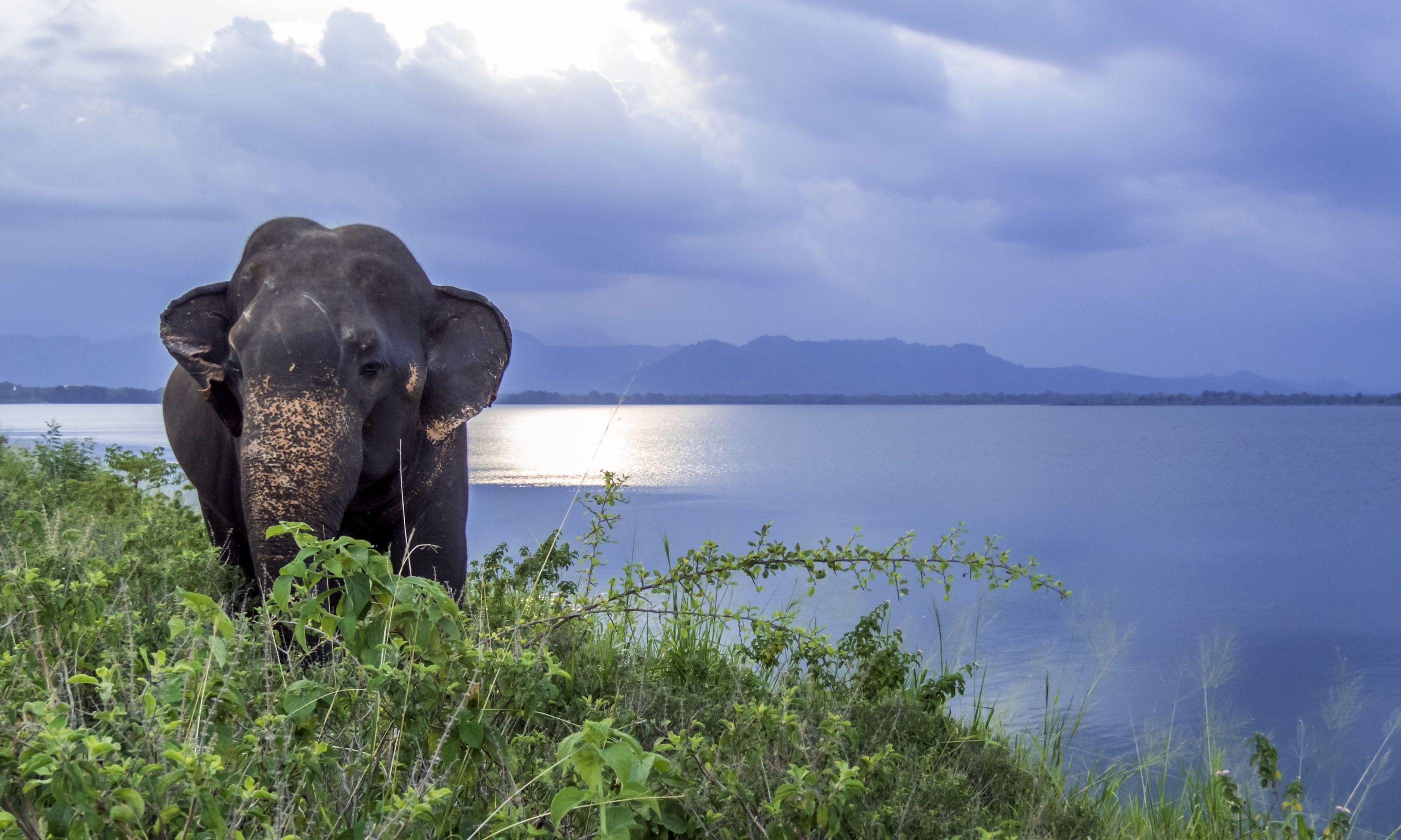 Wild elephant at Udawalewa lake (Dreamstime)