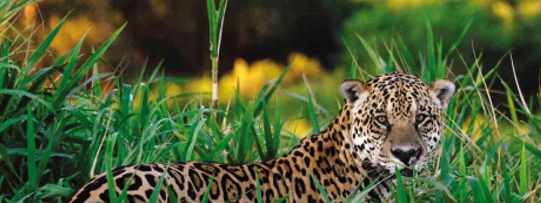 Explore Brazil's Pantanal and track down jaguars (iStock)