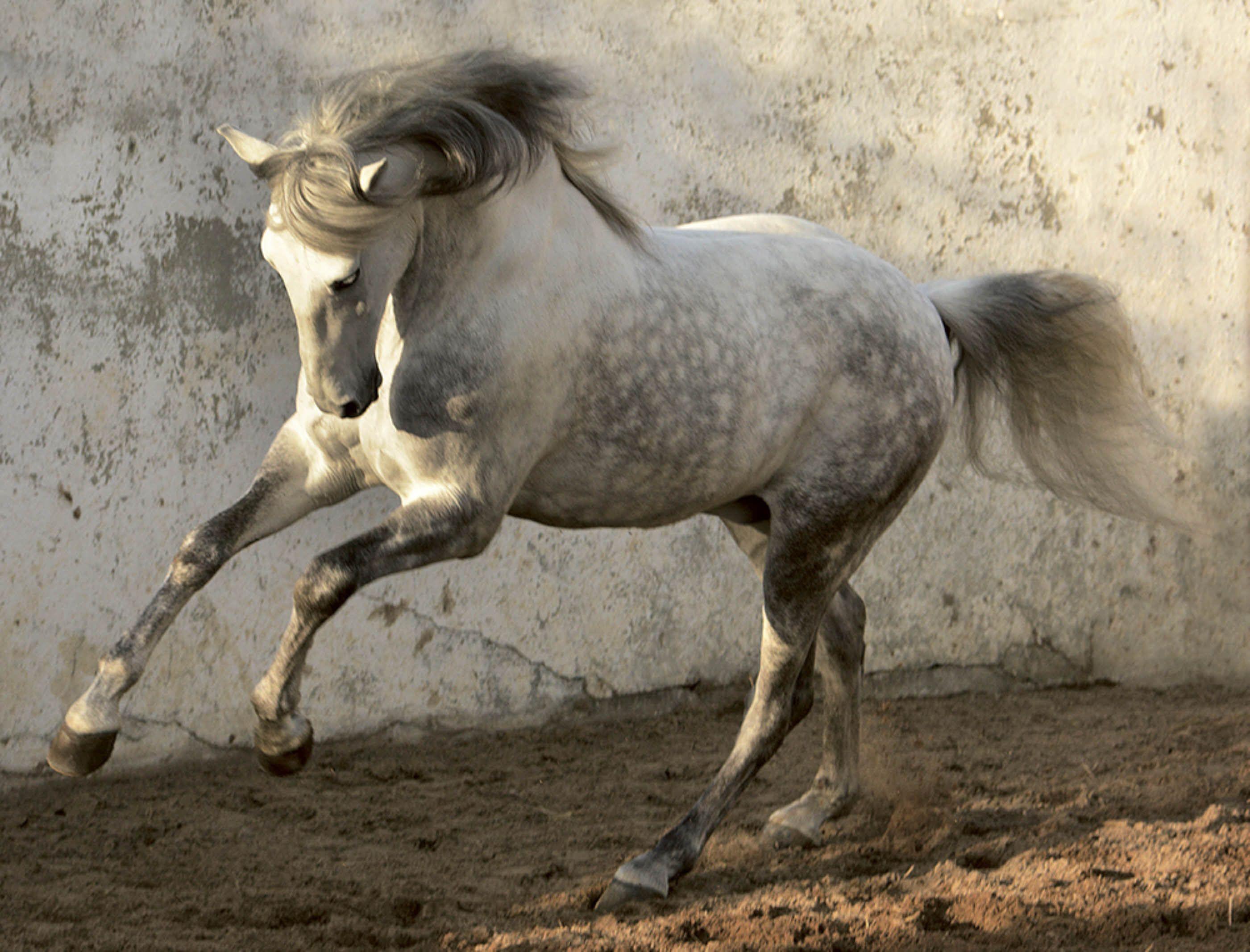 horses horse tony stromberg teneues action equine powerful stallion incredible strength wanderlust books grey around portugal riding animals lusitano bad
