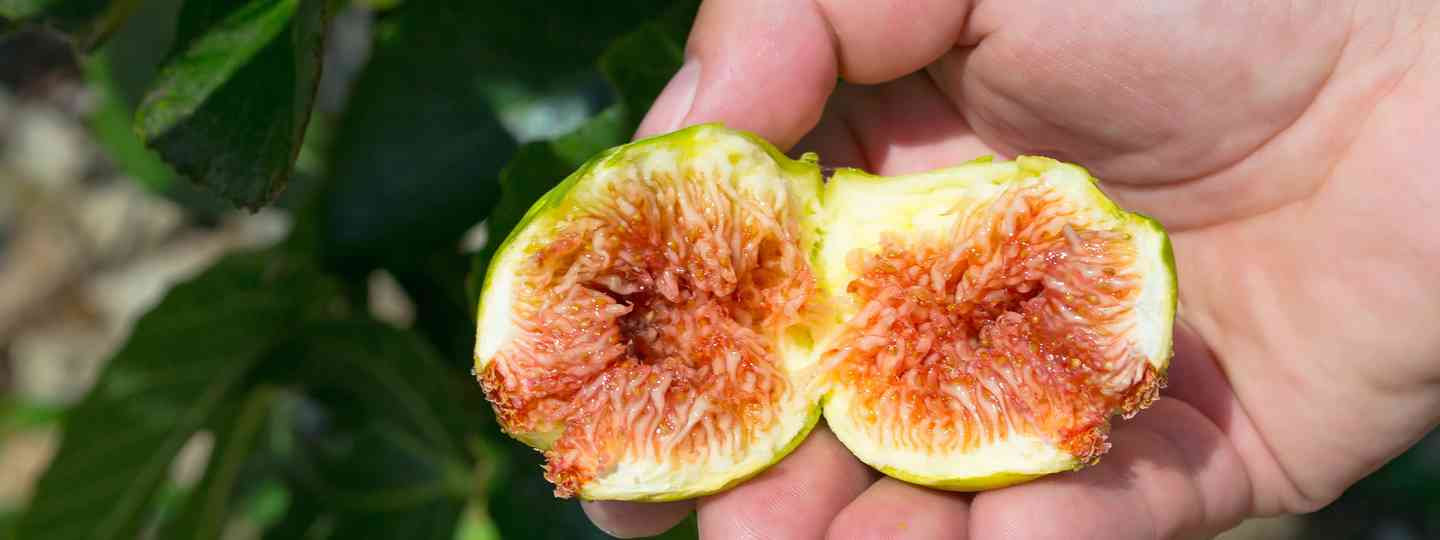 A fig in the hand is worth two in the bush (Shutterstock.com. See credit below)