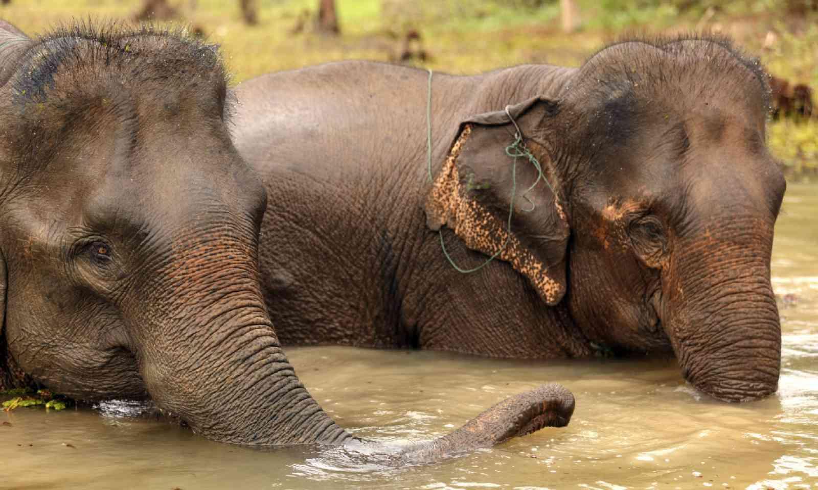 Asian elephant bathing in muddy water, Laos (Shutterstock)