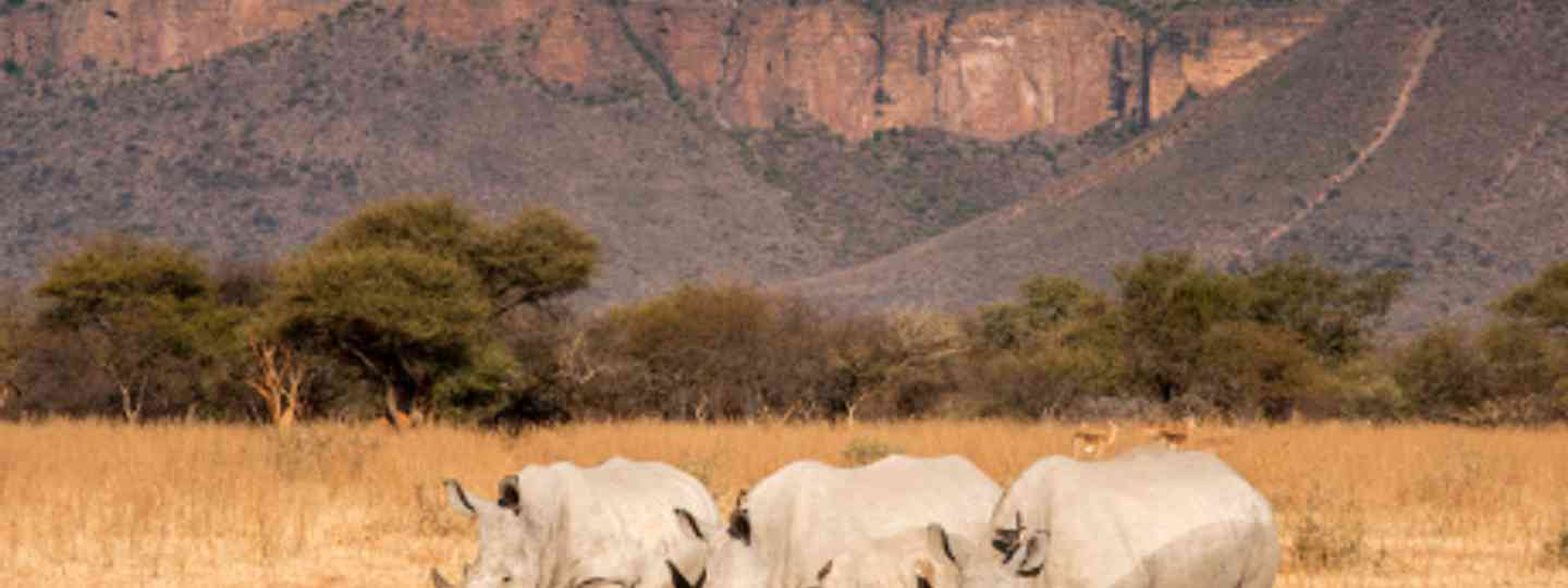 Thanks to conservation efforts in the Marataba Reserve, the area's white rhinos are flourishing (Pete Oxford and Reneé Bish)
