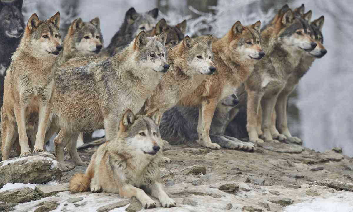 Wolf pack in the snow (Dreamstime)