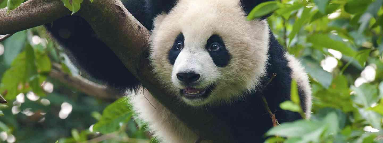 Giant panda bear (Shutterstock: see credit below)