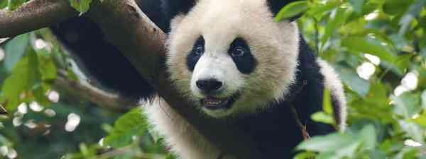 Giant panda bear (Shutterstock: see credit below)