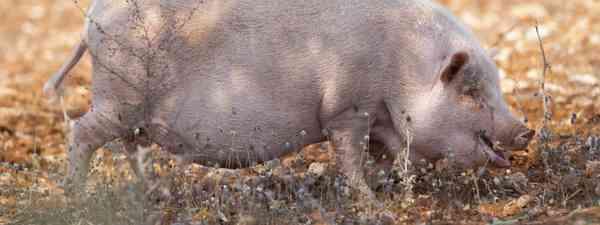 Spanish pig foraging (Shutterstock)