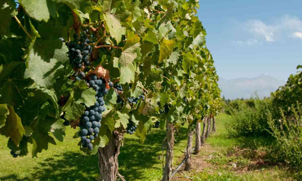 Vineyards of Mendoza, Argentina (Shutterstock)
