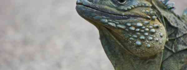 Wildlife is abundant in the Cayman Islands: blue iguana on Grand Cayman (Dreamstime)