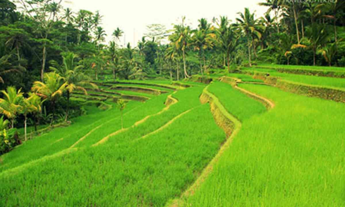 Balinese Rice Paddies