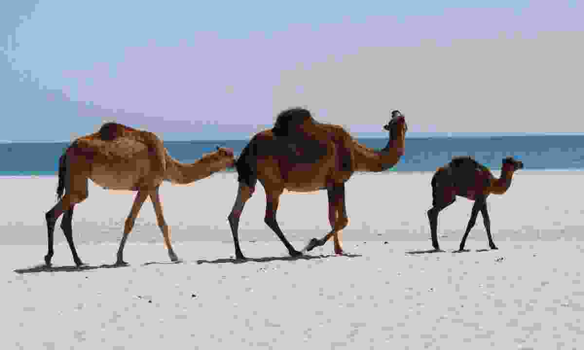 Camels on a beach in Oman (Dreamstime)