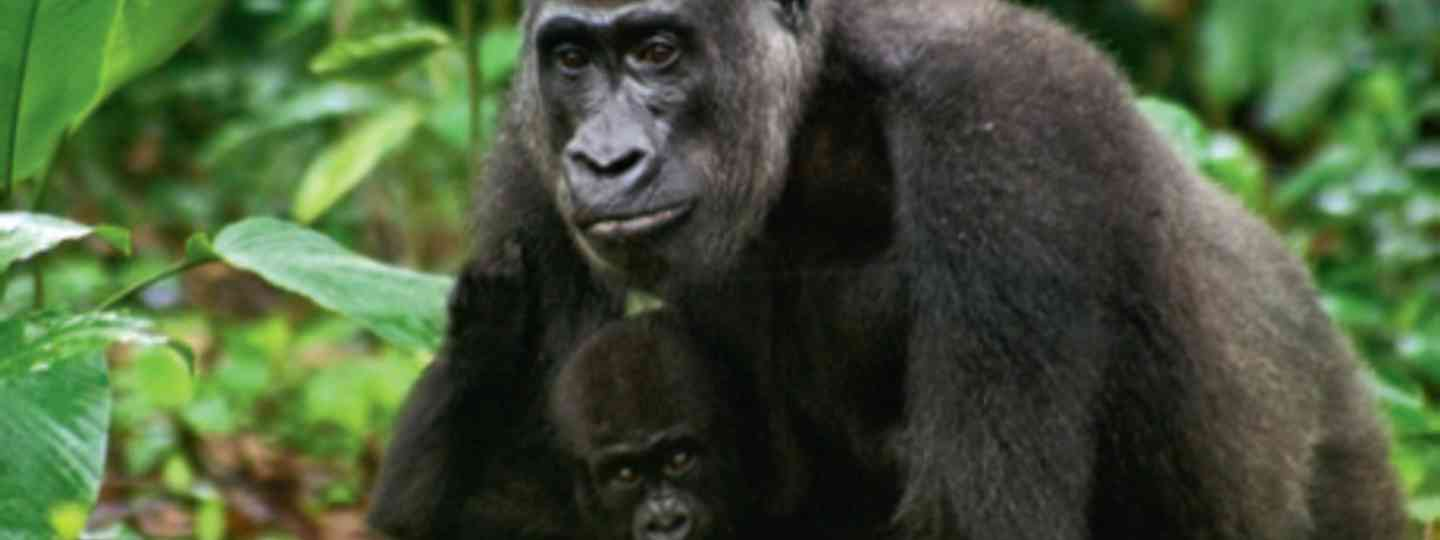 A western lowland gorilla and her infant