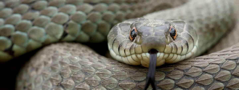 Grass snake (Shutterstock.com. See main credit below)