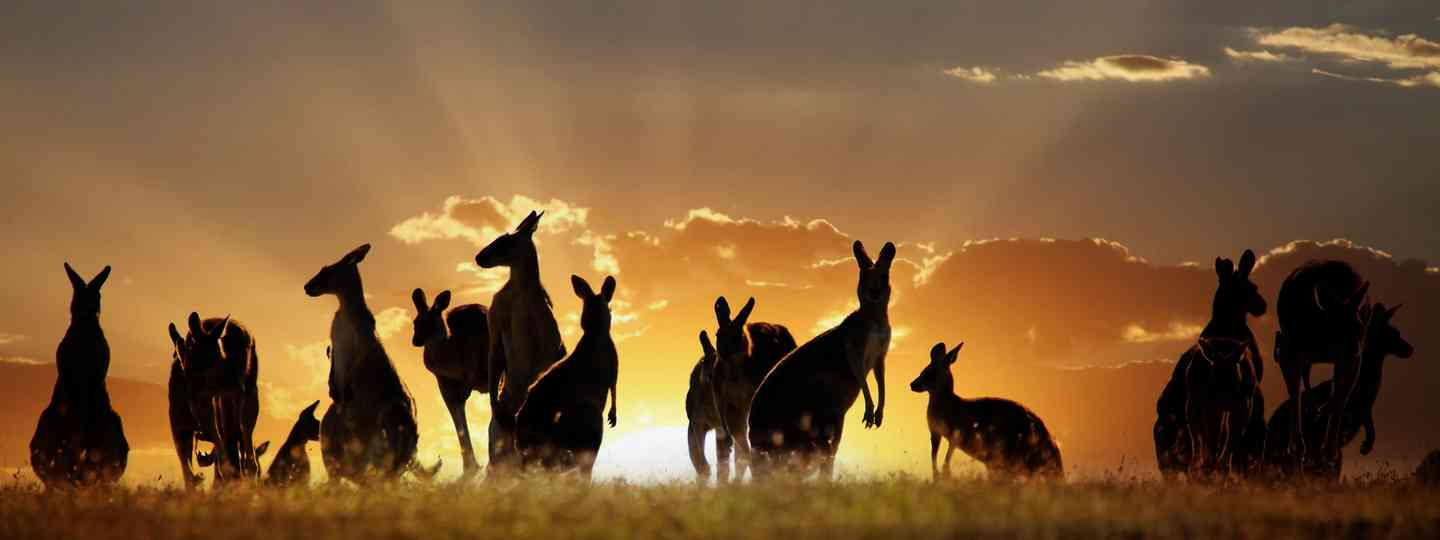 Kangaroos in the outback (Shutterstock: see main credit below)
