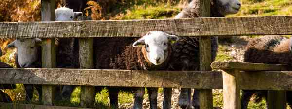 Sheep in Lake District (Shutterstock.com. See main credit below.)