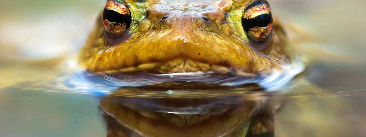 Closeup of male toad in water (Shutterstock: see credit below)