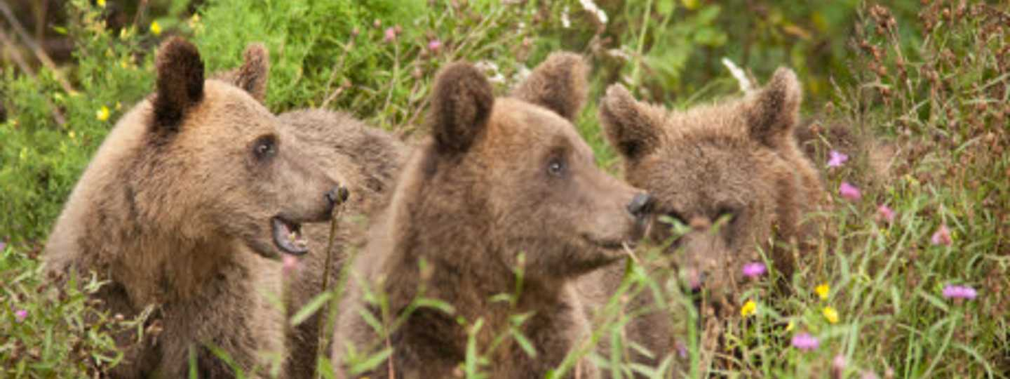 How to track down brown bears in Estonia (dreamstime)