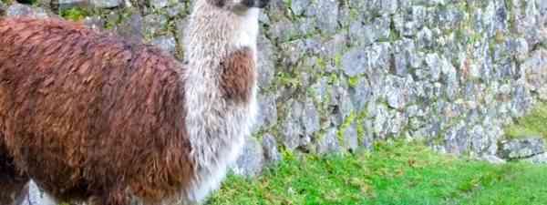 Alpaca Picchu (Phoebe Greenacre)