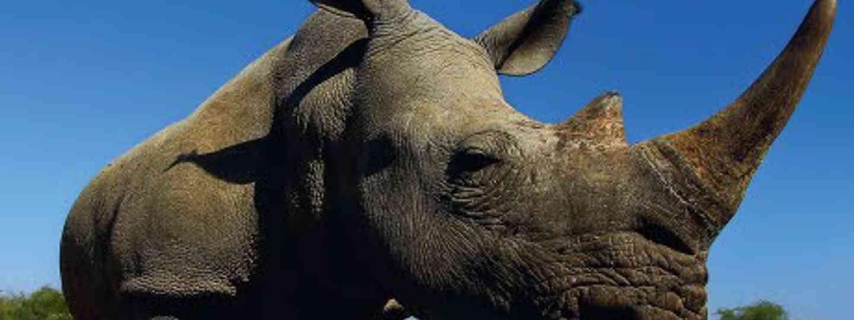 Track rhinos in Swaziland