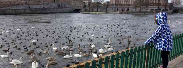 Ducks in front of the Royal Palace, Stockholm (Peter Moore)