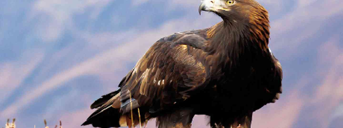 Golden Eagle. Bird watching for beginners in Scotland (dreamstime)