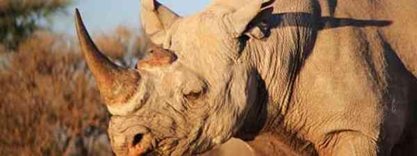 Black Rhino in Namibia (dreamstime_l_26082250)