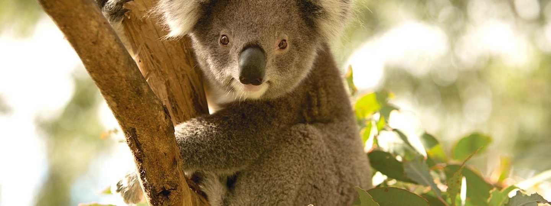 Koala at Tidbinbilla Nature Reserve (VisitCanberra)
