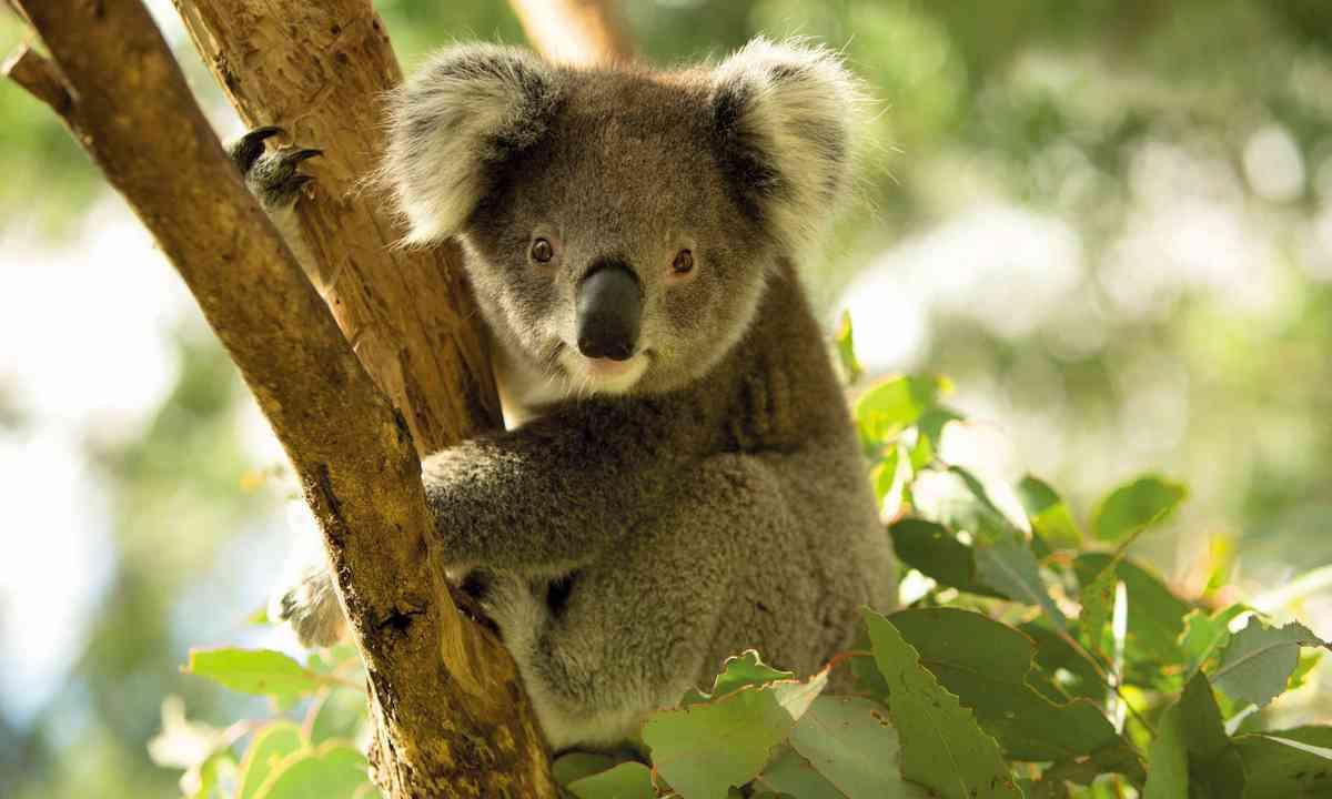 Koala at Tidbinbilla Nature Reserve (Visit Canberra)