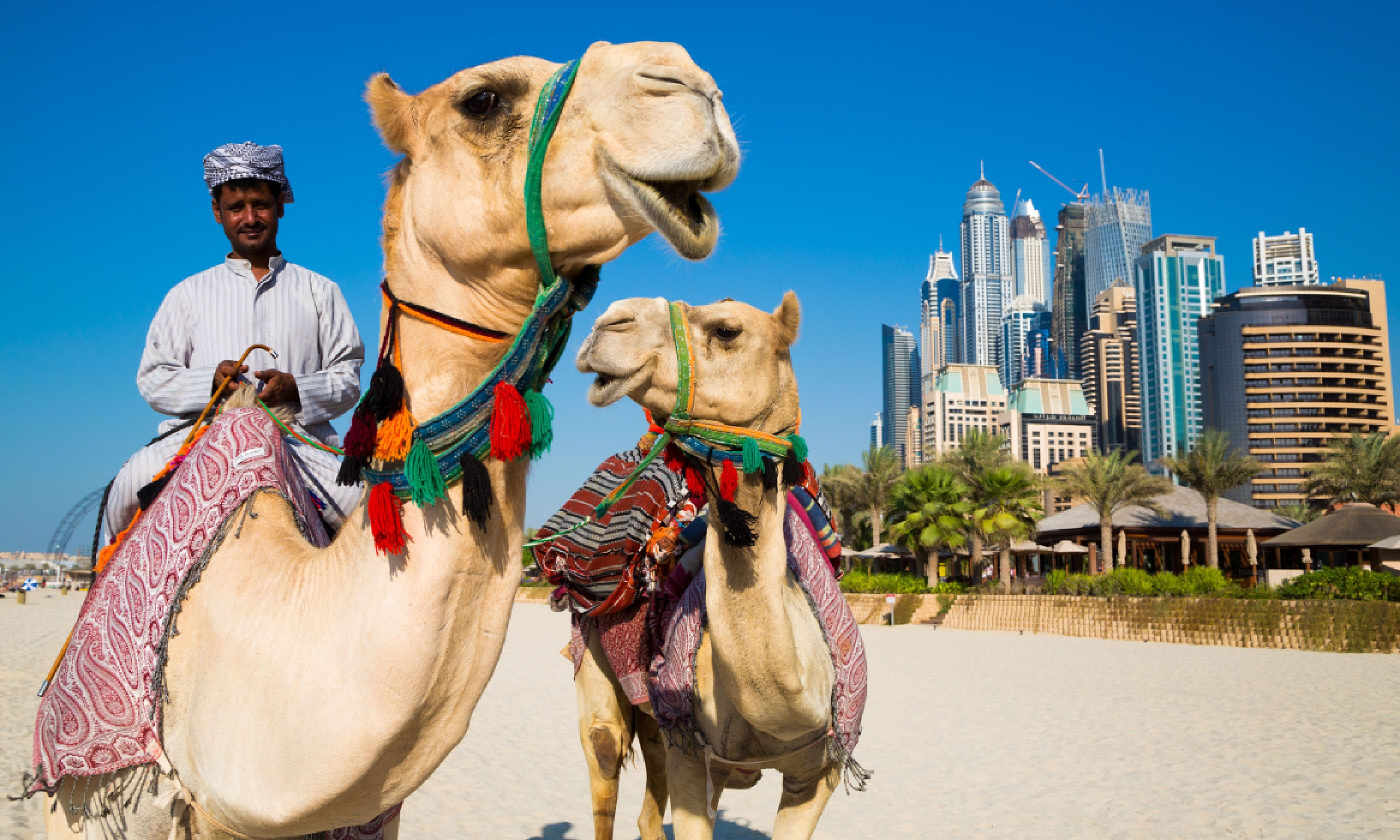 Camels on JBR beach, near Dubai Marina (Shutterstock)