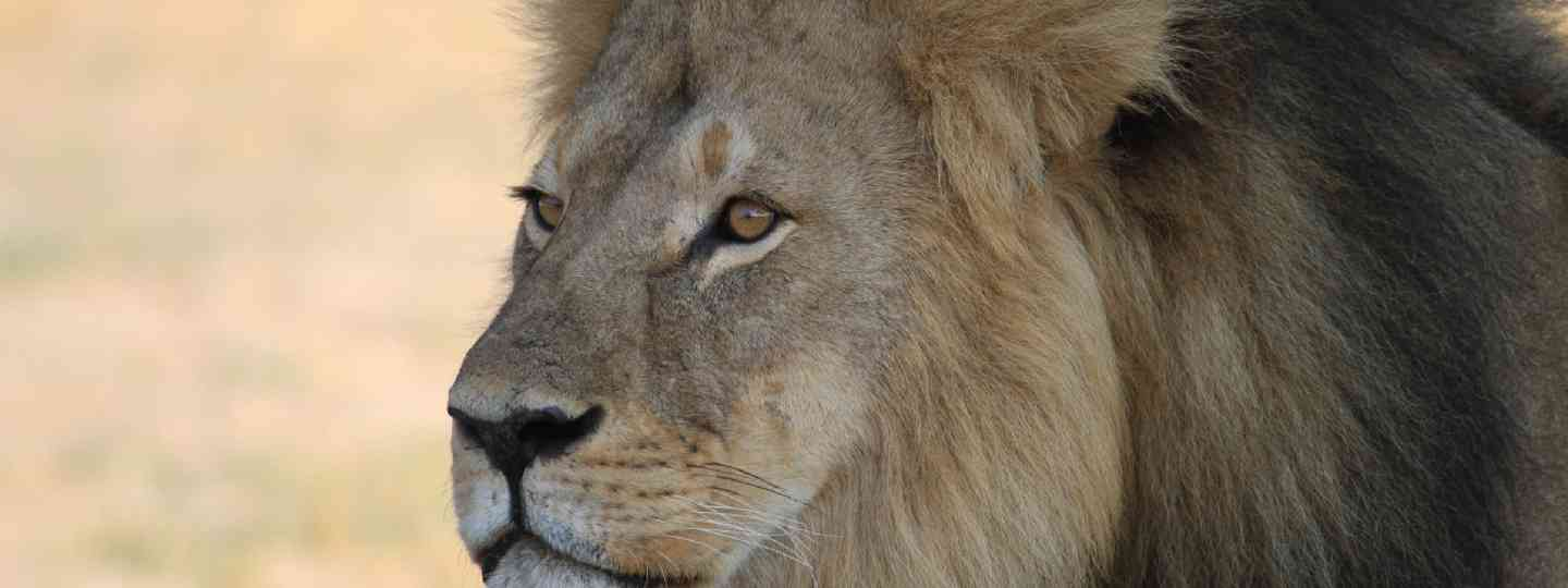 Cecil the lion (Shutterstock: see credit below)