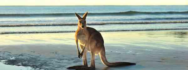 Eastern Gret Kangaroo on the beach near Mackay (Shutterstock.com. See main credit below)