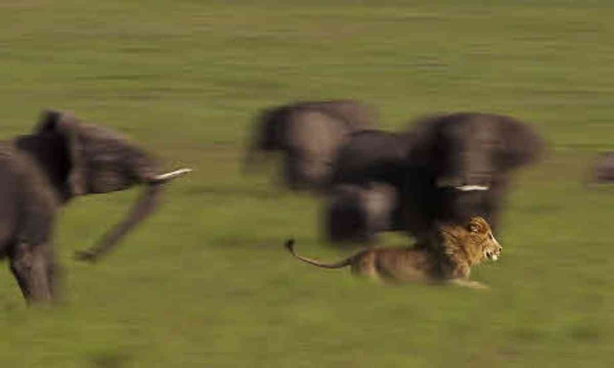 Lion on the run (Angela Osborne)