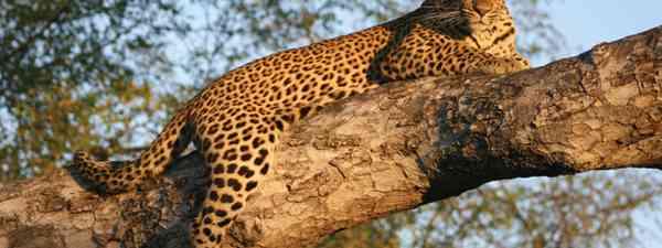 Leopard - walking safari - Zambia