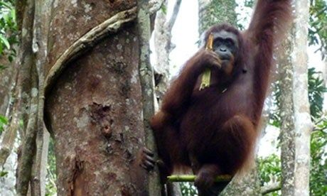 Orangutan (Marie Javins)
