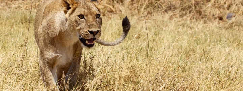 Lion in Moremi National Park (Dreamstime)