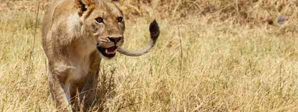 Lion in Moremi National Park (Dreamstime)
