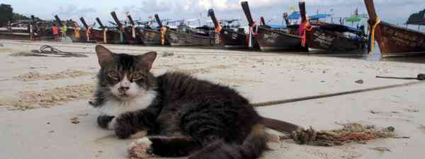 Cat on a Thai beach (Jamie Furlong)