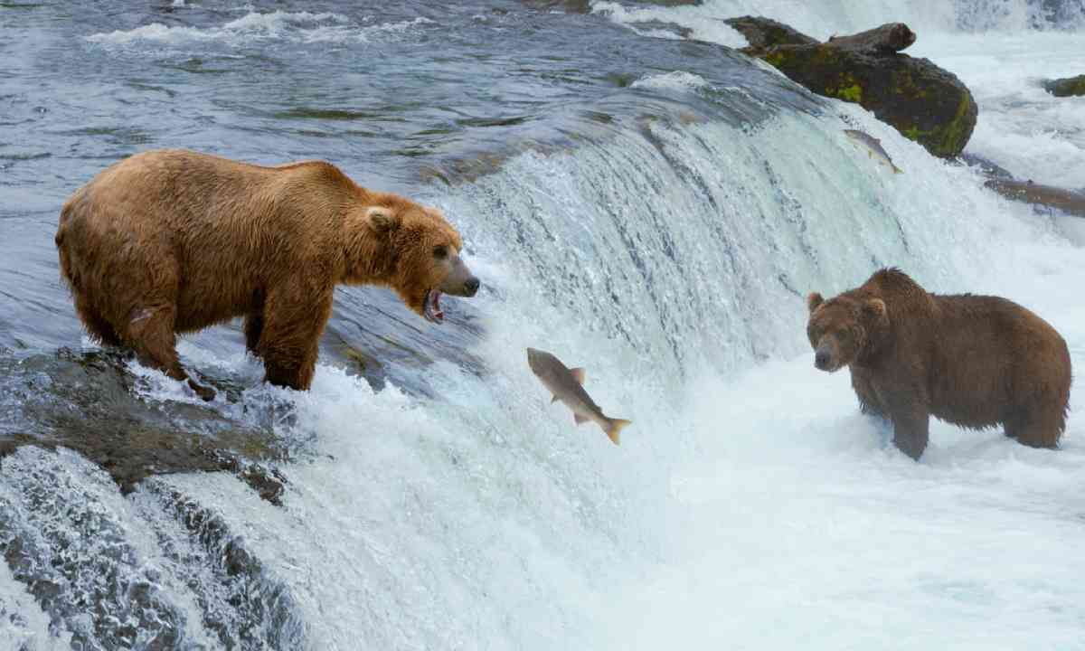 A grizzly bear hunting salmon at Brooks falls (Shutterstock)
