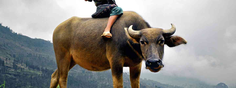 Girl riding a buffalo in Laos (Shutterstock.com. See main credit below)