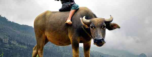 Girl riding a buffalo in Laos (Shutterstock.com. See main credit below)