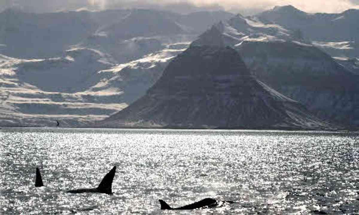 Orca (Will Gray)