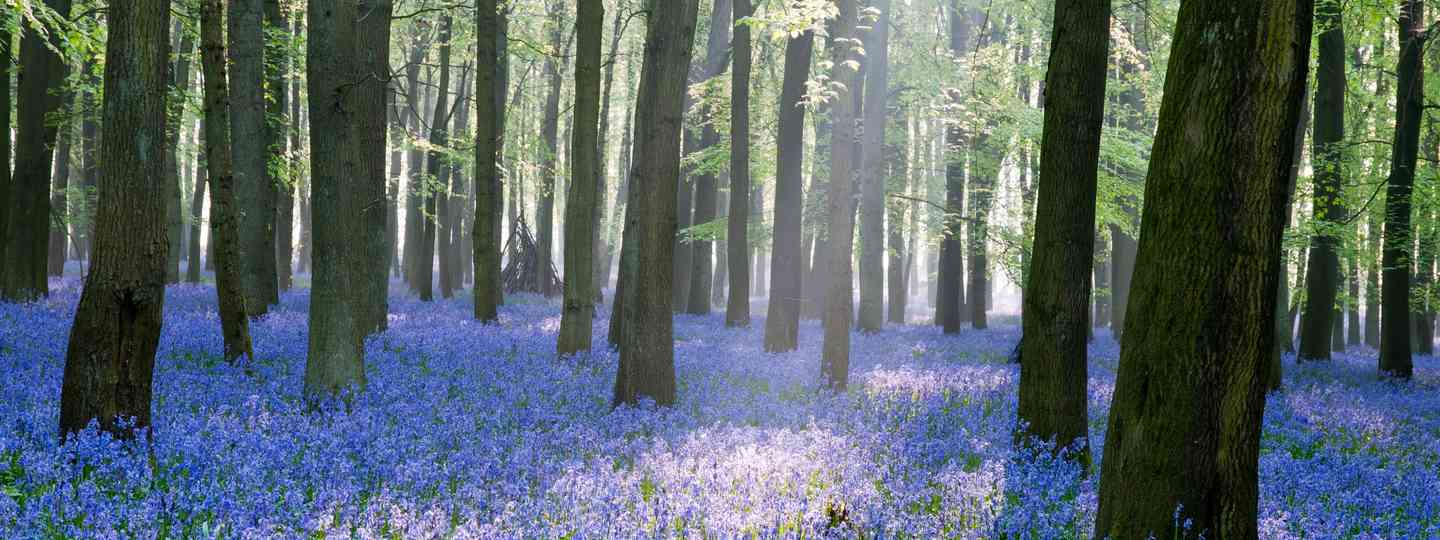 Bluebell Wood in England (Shutterstock.com. See main credit below)