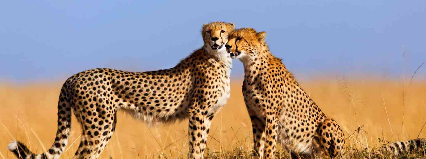 Cheetahs in Masai Mara, Kenya (Shutterstock: see credit below)