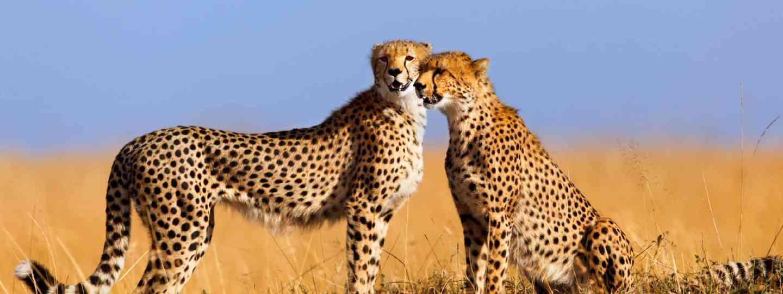 Cheetahs in Masai Mara, Kenya (Shutterstock: see credit below)