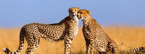 Image result for cheetahs in masai mara