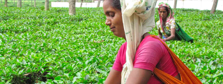 Tea picking in Bangladesh (Shutterstock: see credit below)