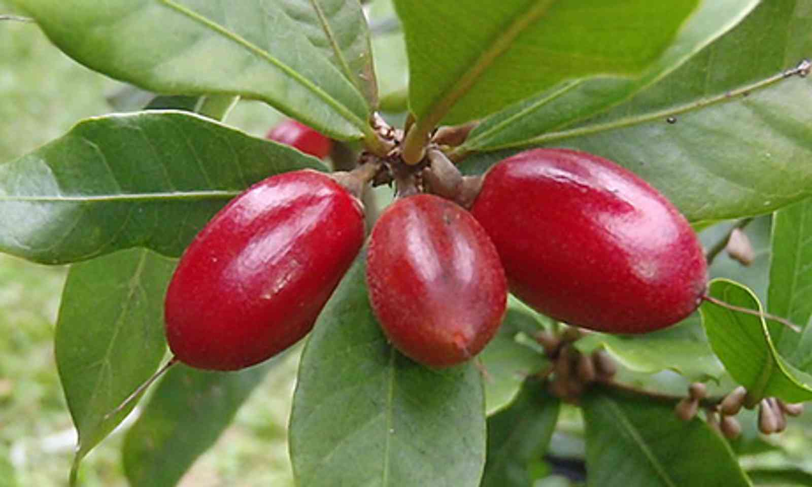 Miracle Fruit (Wiki Images)