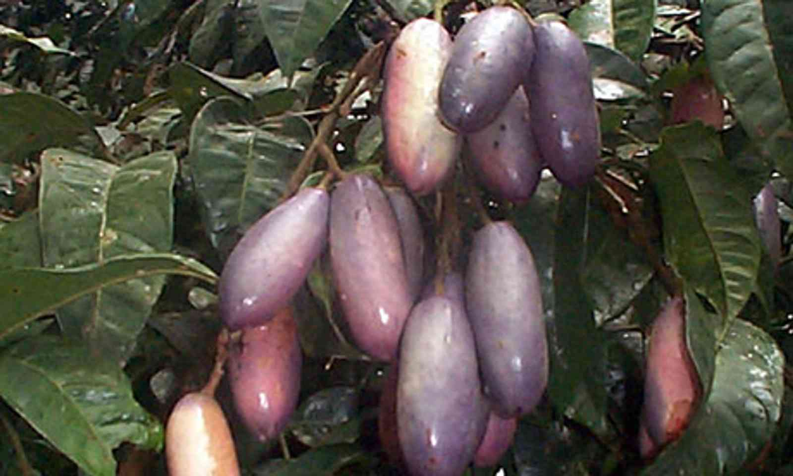 Safou (Wiki Images)