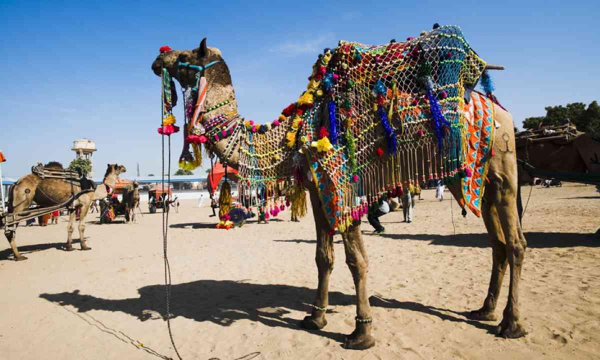 Camels at Puskhar Fair (Supplied: Transindus)