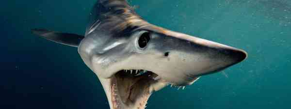 Mako shark (Brian Skerry)