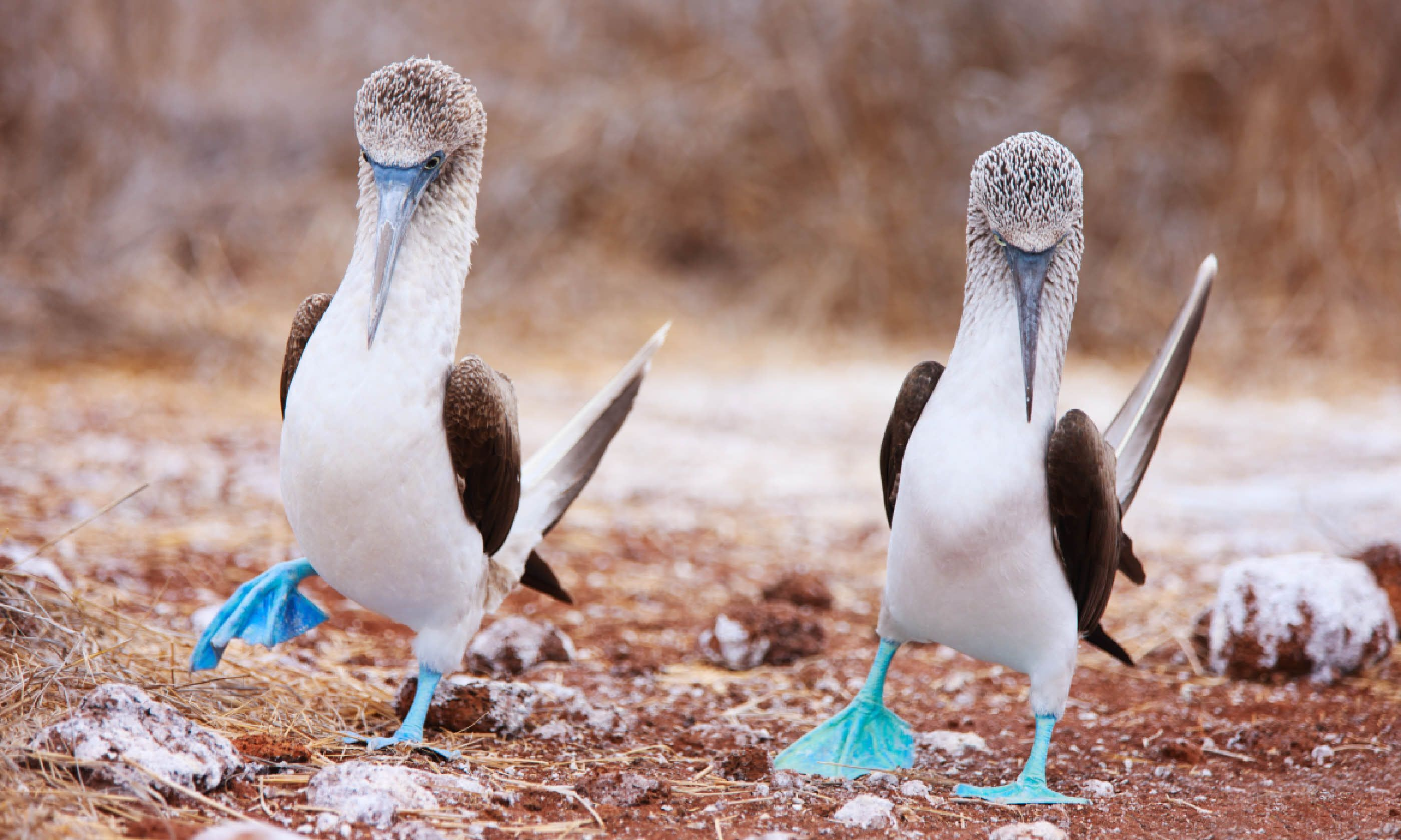 Blue footed boobies performing mating dance (Shutterstock)